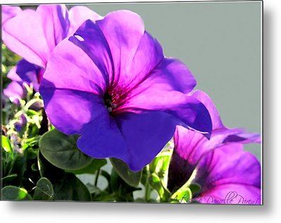 Mauve Petunia Trio Metal Print by Danielle  Parent