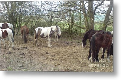 Metal Print featuring the photograph May Hill Ponies 1 by John Williams