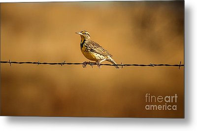 Meadowlark And Barbed Wire Metal Print by Robert Frederick