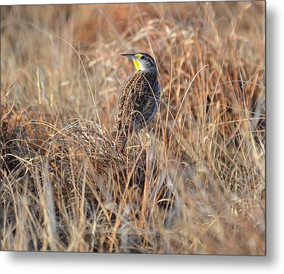 Meadowlark In Grass Metal Print