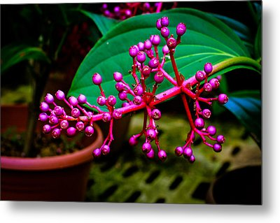 Medinilla Singapore Flower Metal Print by Donald Chen