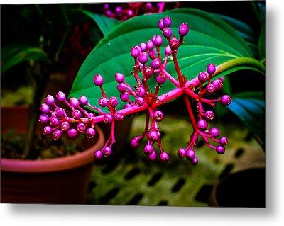 Medinilla Singapore Flower Metal Print