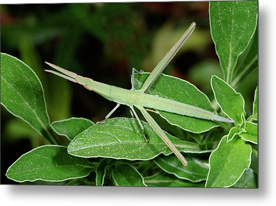 Mediterranean Slant-faced Grasshopper Metal Print by Nigel Downer