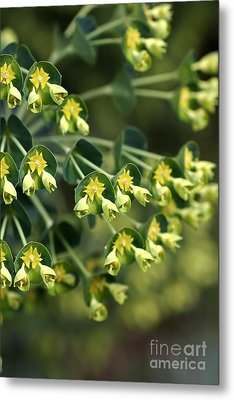 Mediterranean Spurge Metal Print by Joy Watson