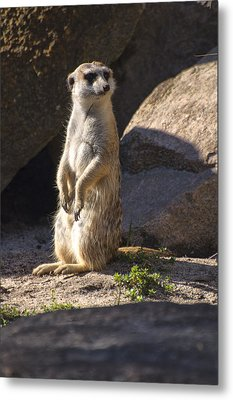 Meerkat Looking Left Metal Print