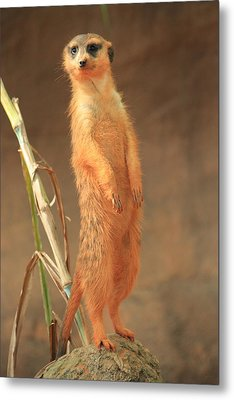 Meerkat Metal Print by Mandy Shupp