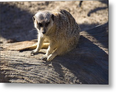 Meerkat Resting On A Rock Metal Print