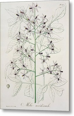 Melia Azedarach From 'phytographie Medicale' By Joseph Roques Metal Print by L F J Hoquart