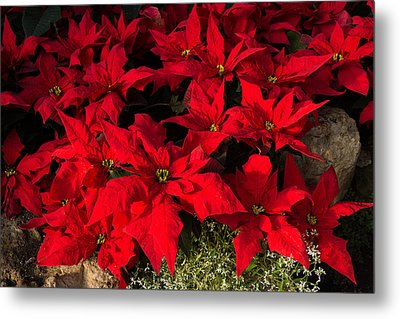 Merry Scarlet Poinsettias Christmas Star Metal Print