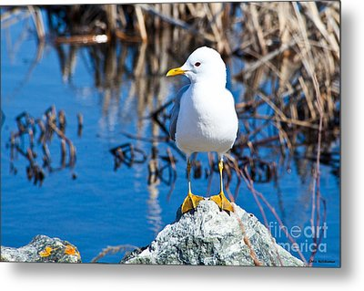 Mew Gull Metal Print by Chris Heitstuman