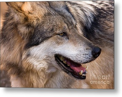 Metal Print featuring the photograph Mexican Gray Wolf by Chris Scroggins