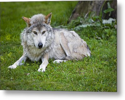 Metal Print featuring the photograph Mexican Gray Wolf by Sebastian Musial