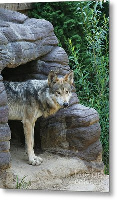 Mexican Wolf #2 Metal Print