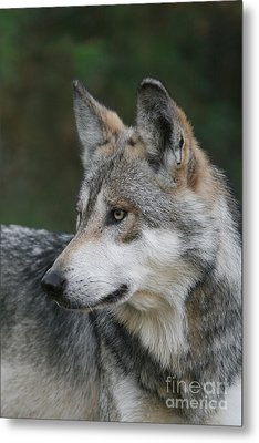 Mexican Wolf #6 Metal Print by Judy Whitton