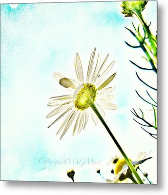#mgmarts #daisy #flower #morning Metal Print by Marianna Mills