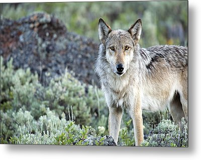 Middle Gray Of Yellowstone Metal Print