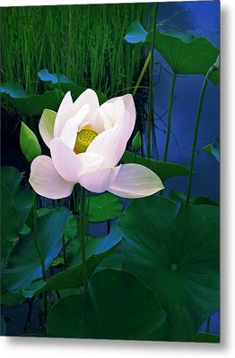 Midnight Lotus Metal Print by Jessica Jenney