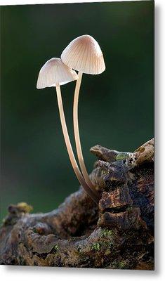 Milking Bonnet Fungi (mycena Galopus) Metal Print by Nigel Downer