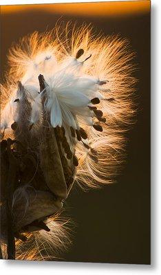 Milkweed Seed Pod Metal Print by Adam Romanowicz