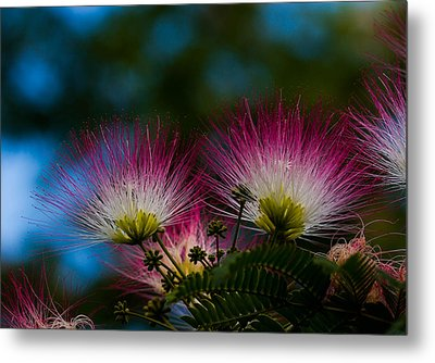 Mimosa Blossoms Metal Print by Haren Images- Kriss Haren