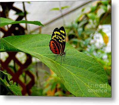 Mindo Butterfly Poses Metal Print by Al Bourassa