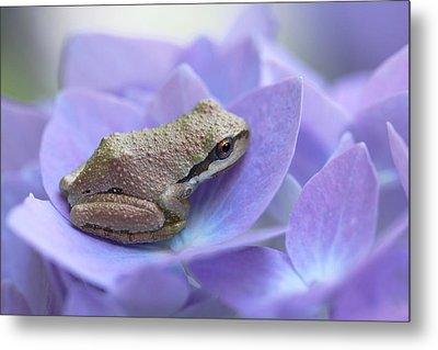 Mini Frog On Hydrangea Flower  Metal Print by Jennie Marie Schell