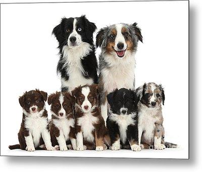 Miniature American Shepherd Dog Metal Print by Mark Taylor