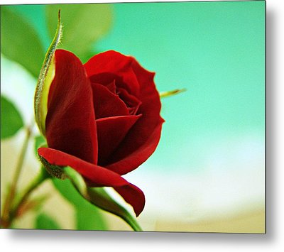 Miniature Rose Metal Print