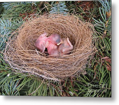 Metal Print featuring the photograph Miracle Of Birth _ Baby Robins 4 by Margaret Newcomb