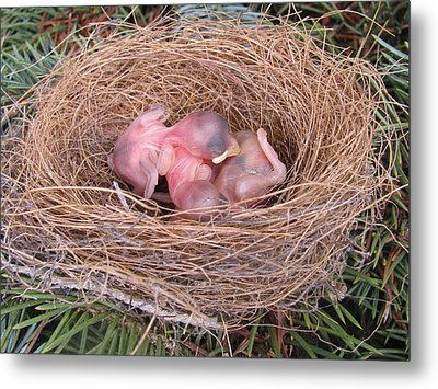 Metal Print featuring the photograph Miracle Of Birth _ Baby Robins by Margaret Newcomb