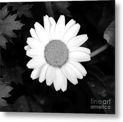 Miss Daisy Metal Print by Andrea Anderegg
