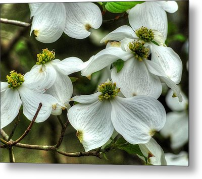 Metal Print featuring the photograph Mississippi Dogwood II by Lanita Williams