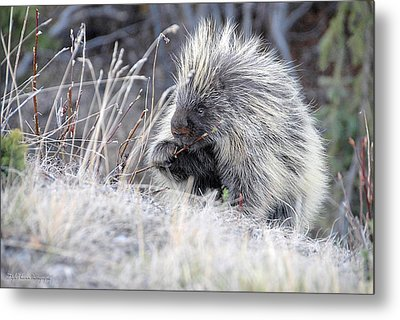 Metal Print featuring the photograph Mister Porcupine - Denali Alaska by Dyle   Warren