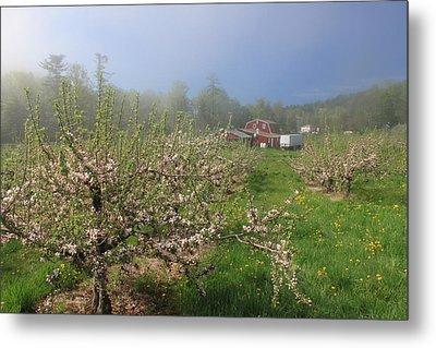 Misty Apple Blossoms Metal Print by John Burk