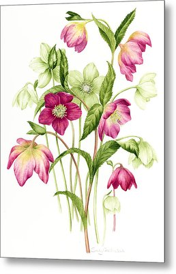 Mixed Hellebores Metal Print by Sally Crosthwaite