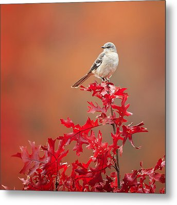 Mockingbird Autumn Square Metal Print by Bill Wakeley