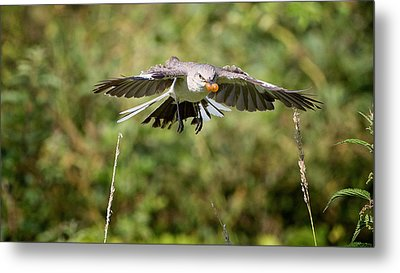 Mockingbird In Flight Metal Print by Bill Wakeley
