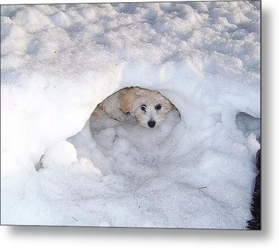 Molly Hidding In Her Snow Cave Metal Print