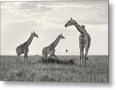Mom And Twin Giraffes Metal Print by June Jacobsen