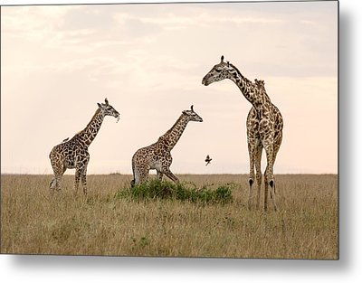Mom Giraffe And Twins In Color Metal Print by June Jacobsen