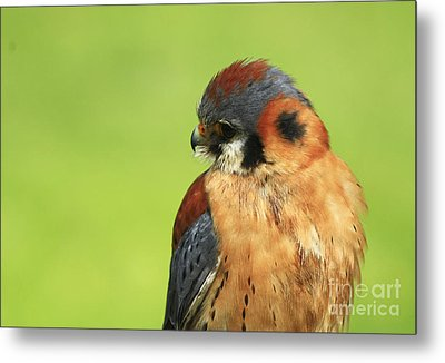 Moments Of Beauty American Kestrel Falcon  Metal Print by Inspired Nature Photography Fine Art Photography