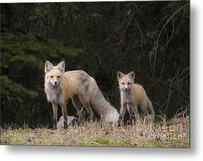 Momma Fox With Her Kit Metal Print by Sonya Lang