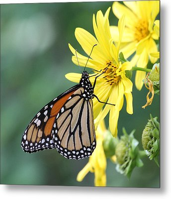 Metal Print featuring the photograph Monarch Beauty by Doris Potter