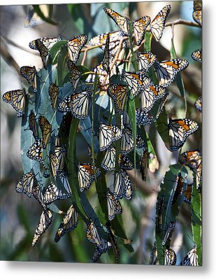 Monarch Butterflies Natural Bridges Metal Print