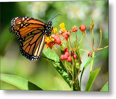 Monarch Butterfly 3 Metal Print by Julie Cameron