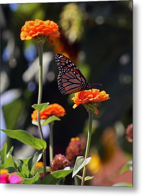 Monarch Butterfly And Orange Zinnias Metal Print by Kay Novy