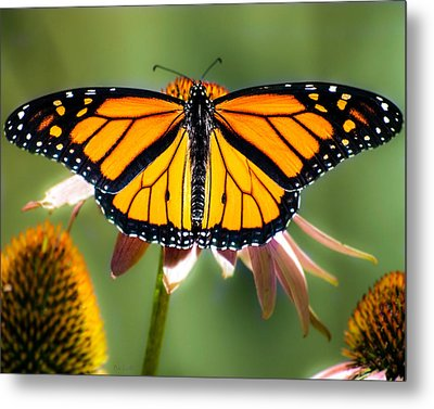 Monarch Butterfly Metal Print by Bob Orsillo