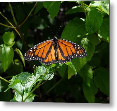 Monarch Butterfly Metal Print by David Nichols
