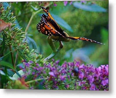 Monarch Butterfly Down Metal Print by Joy Bradley
