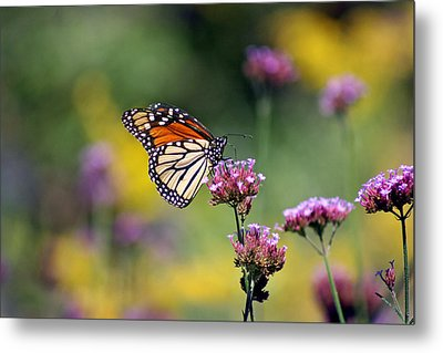 Monarch Butterfly In Field On Verbena Metal Print by Karen Adams